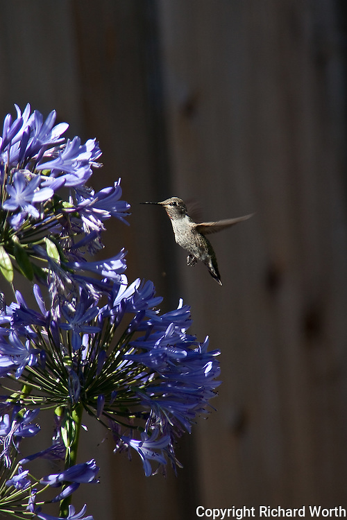 A hummingbird, possibly an Anna's Hummingbird, samples from the agapanthus in a California backyard.