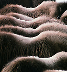 Muskox backs, Nunivak Island, Alaska, USA