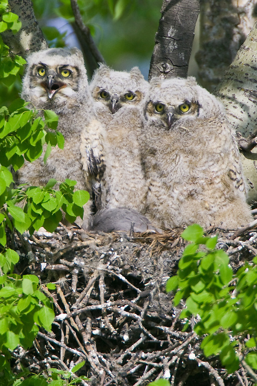 Great Horned Owl triplets