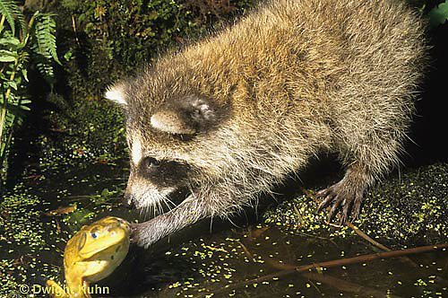 MA25-243z  Raccoon - young raccoon catching a frog at pond - Procyon lotor  .