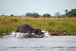 Africa, Botswana, Okavango Delta. Hippo of the Okavango Delta.