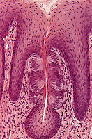 Taste buds in tongue epithelium. LM X68