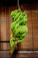 Bananas getting ripe at the Costa Rica Wildlife Sanctuary run by Vanessa Lizano and her family. Moin, Limon, Costa Rica.