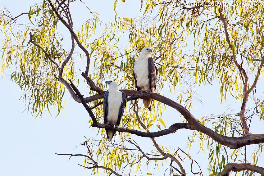 White-Bellied Sea-Eagle, Mary River, Kakadu NP, NT, Australia