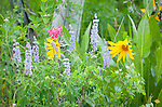 Idaho, Eastern, Driggs, Wildflowers in the Bighole mountains in summer.
