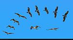 Osprey Hunting, Flight Study, Sepulveda Wildlife Refuge, Southern California