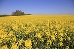 Rape seed fields on route near Noyon during the 115th edition of the Paris-Roubaix 2017 race running 257km Compiegne to Roubaix, France. 9th April 2017.<br /> Picture: Eoin Clarke | Cyclefile<br /> <br /> <br /> All photos usage must carry mandatory copyright credit (&copy; Cyclefile | Eoin Clarke)