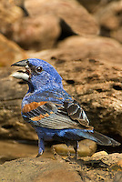 538680027v a wild male blue grosbeak guiaca careula stands in a small pond on a private ranch in the rio grande valley of south texas