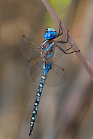 339360061 a wild male blue-eyed darner rhionaeschna multicolor perches on a dead stick along laws canal near bishop in inyo county california