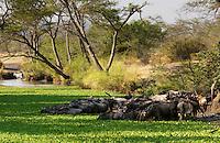 Herd of migrating Blue Wildebeest drinking, Grumeti, Tanzania