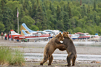 Brown bears play along the shores of Naknek lake, bush planes on floats deliver tourists to Brooks lodge to view bears and fish for salmon.