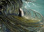 Fur Seal amongst kelp at Taiaroa Head Otago Peninsula. Otago New Zealand.