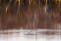 Great crested grebe with fish on lake near sunset. Studland, Dorset, UK.