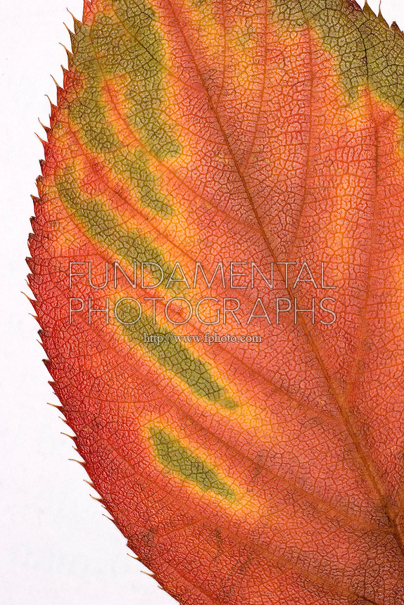 AUTUMN FOLIAGE<br /> Elm Tree Leaf Changing Color<br /> Leaves appear green because of an abundance of chlorophyll<br /> In fall when the chlorophyll breaks down, carotenoid and xanthophyll pigments become visible showing orange and yellow colors.