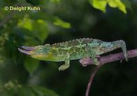 CH36-502z  Male Jackson's Chameleon or Three-horned Chameleon, Chamaeleo jacksonii