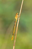 337850002 a wild teneral female painted damsel hesperagrion heterodoxum perches on a water plant stem along bear creek in cochise county arizona united states..GPS: W 31.63417; N -110.56944.