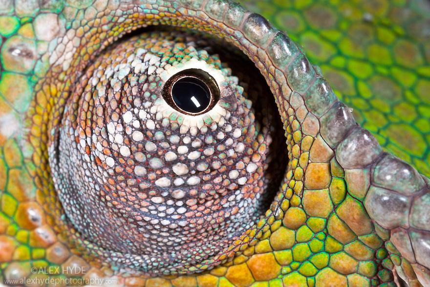 Panther Chameleon {Furcifer pardalis} close-up of eye swivelling in socket. Masoala Peninsula National Park, north east Madagascar.
