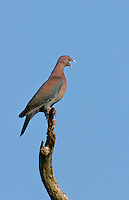571180021 a wild red-billed pigeon columba flavirostris perches on a dead mesquite tree limb calling to its mate on a ranch in tamaulipas state mexico