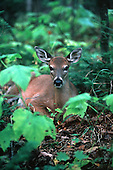 White-tailed doe deer, Odocoileus virginianus, in the Upper Peninsula of Michigan.