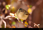Ruby-Crowned Kinglet, Grand Canyon, Arizona