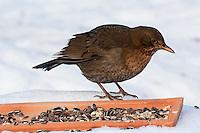 Amsel, Weibchen an der Vogelfütterung, Fütterung im Winter bei Schnee, frisst Körner am Boden aus einer Schale, Winterfütterung, Schwarzdrossel, Drossel, Turdus merula, blackbird, Merle noir