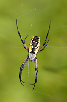 Black and Yellow Argiope (Argiope aurantia) - Female on its web, Ward Pound Ridge Reservation, Cross River, Westchester County, New York