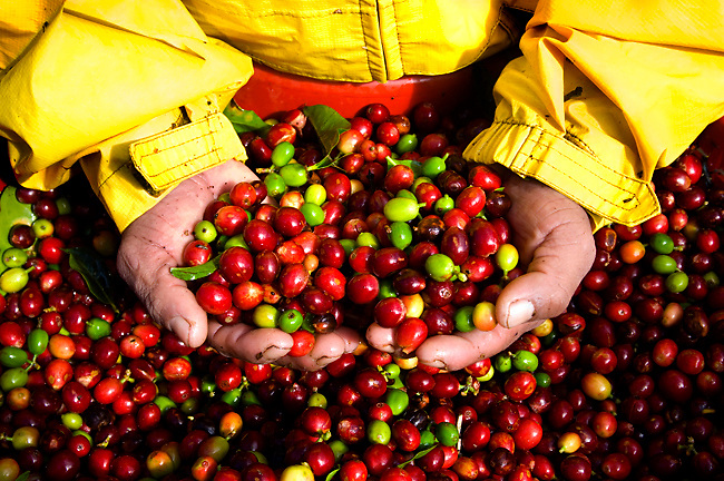 Costa Rica, Tarrazu Valley, Arabica Coffee Cherries, Hand Picked, Coffee Picker
