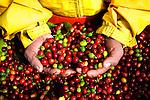 Costa Rica, Tarrazu Valley, Arabica Coffee Cherries, Hand Picked, Coffee Picker