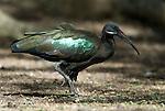 Glossy Ibis, Plegadis falcinellus, Lake Awasa, Ethiopia, Africa