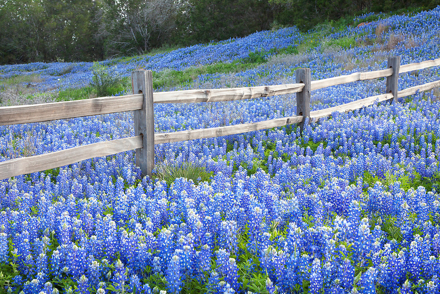 This bluebonnet photo shows the 2012 version of Texas' favorite wildflower as it surrounds an old wooden fence. Each year in late March I visit this site hoping for a scene such as this. Sometimes this area is completely blue; others times nary a bluebonnet can be found.