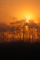 The sun rises behind a pine hammock on a foggy morning in Everglades National Park, Florida.