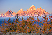 Grand Teton National Park, WY: Dawn light on the Teton Range with with a row of aspens in fall