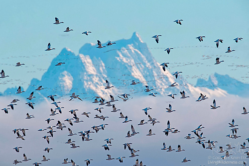 Snow Geese and Whitehorse Mountain, Washington