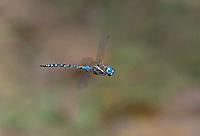 339360082 a wild male blue-eyed darner rhionaeschna multicolor in flight over small creek at empire cienega natural conservation area pima county arizona