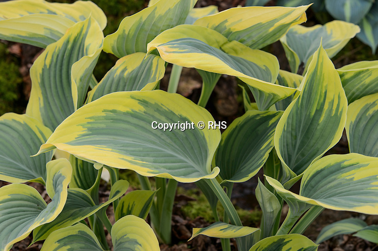 Hosta Liberty / Brookfields Plants in the Floral Marquee at the RHS Show Cardiff 2016.
