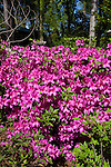 Azaleas, Rhodendron x ENCORE 'AUTUMN ROYALTY', at Mercer Arboretum and Botanical Gardens in Spring, Texas.