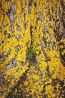 A layer of yellow lichen coats the trunk of a tree while a sprig of bright green pops out from a crease in the bark.