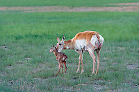 Pronghorn Antelope (Antiloapra americana) doe with very young fawn (born in the last 1/2 hour--note birth blood on doe and fawn).  Western U.S., June.