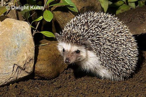 MA42-037z   African Pygmy Hedgehog - Atelerix albiventris
