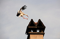 Stork landing on a smokestack in Alsace