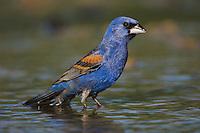 Blue Grosbeak, Guiraca caerulea, male bathing, Willacy County, Rio Grande Valley, Texas, USA