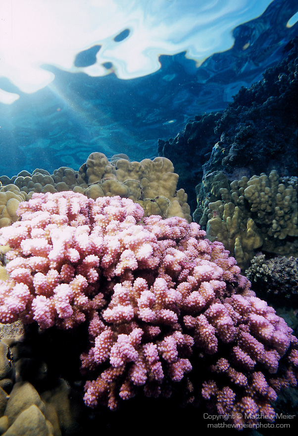 Moorea, French Polynesia; pink Pocillopora meandrina coral , Copyright © Matthew Meier, matthewmeierphoto.com All Rights Reserved
