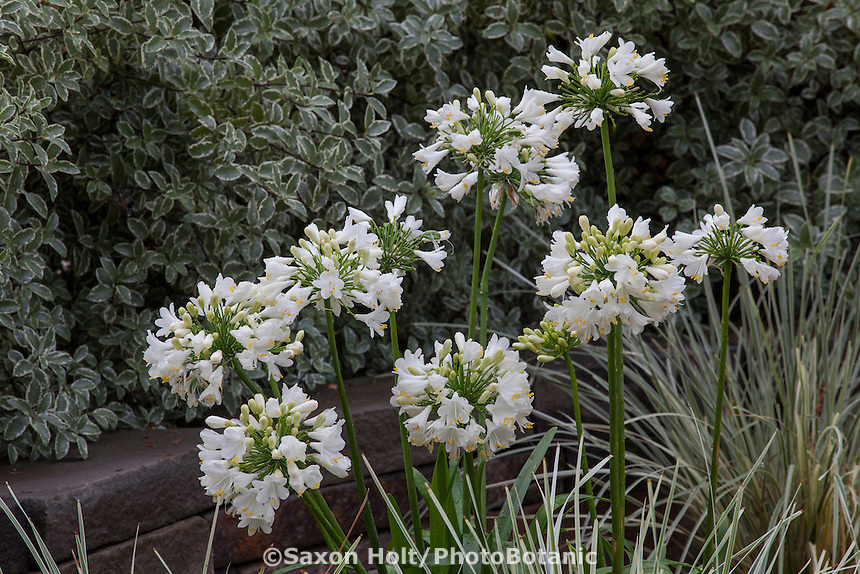 Agapanthus 'Ever White' flowering perennial with Lomandra 'Platinum Beauty' in front of variegated foliage hedge, Pittosporum tenuifolium; Sunset Plants