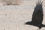 Common raven, Corvus corax, in Death Valley National Park, California