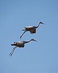 Sandhill Cranes gather en masse in a nature preserve near Grantsburg called Crex Meadows.  These images are during the fall migrations