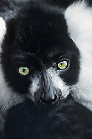 654054002 portrait of a captive ruffed lemur varecia variegata - animal is a zoo animal - species is highly endangered in its home distribution on the island of madagascar