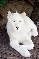 White lion cub at Seaview Lion Park, Jeffreys Bay, South Africa. Photo: Joli
