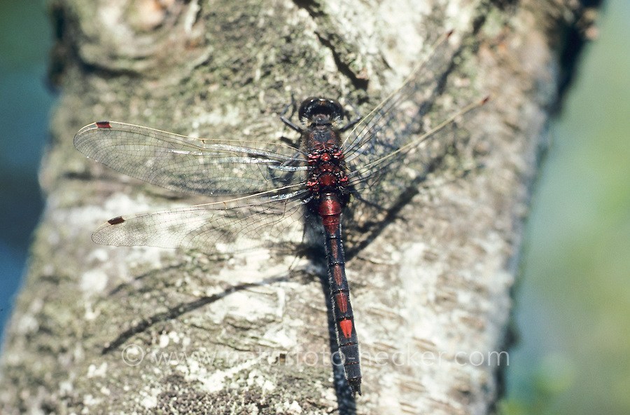 Nordische Moosjungfer, Männchen, Leucorrhinia rubicunda, Leucorhinia rubicunda, Northern White-faced Darter, Northern Whitefaced Darter
