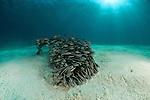 Striped eel catfish(Plotosus lineatus) in the sandy bottom.