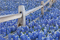 Along the fence row outside Llano, Texas, in the Texas Hill Country, a sea of Texas bluebonnets spread out in all directions. This ione of my favorite places to photograph our Texas wildflowers in spring with the colors are nice.